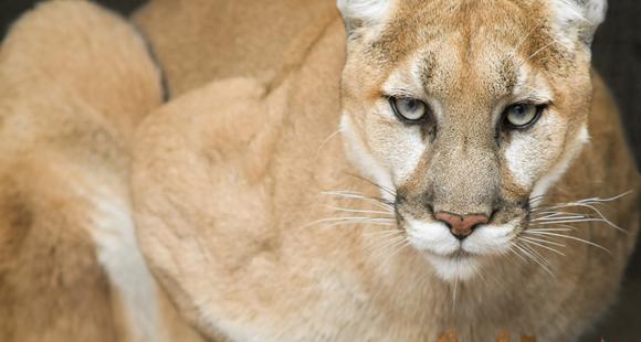 mountain lion 580 x 310
