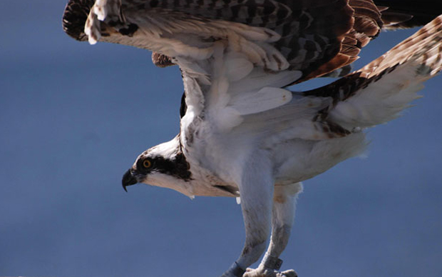 What My Pet Osprey Teaches Me About Business